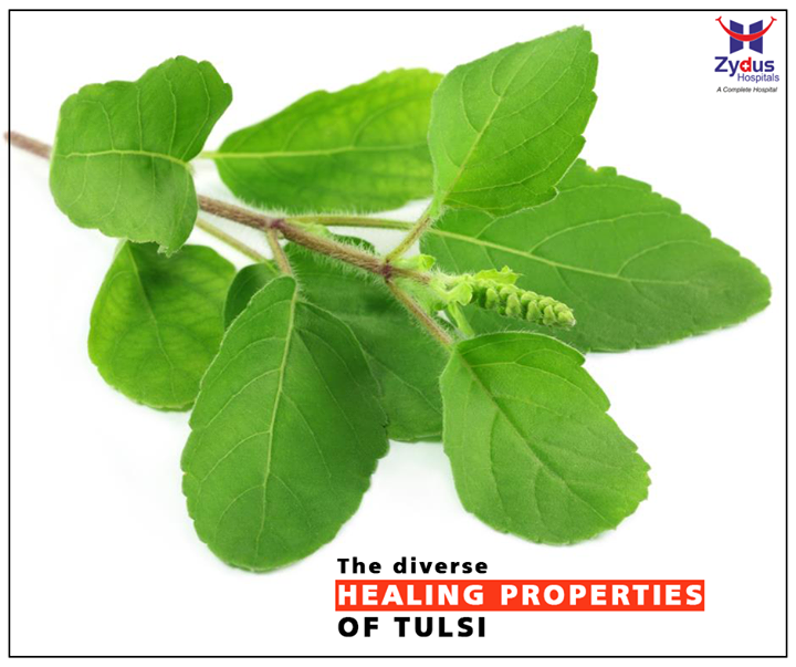 Tulsi has several medicinal properties and is an excellent antibiotic. Eating Tulsi leaves, drinking the juice, or adding it to your tea builds immunity and stabilizes your existing health conditions.  #HealthBenefits #ZydusCares #ZydusHospitals #Ahmedabad