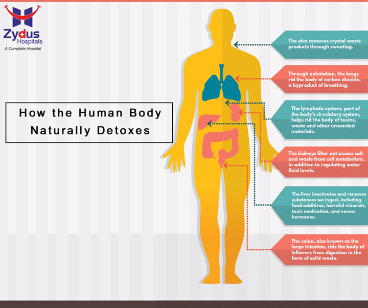 Detoxification is the body's natural process of neutralizing, transforming, or clearing out unwanted materials or toxins. The liver, kidney, colon, lungs, skin, and lymph system all play essential roles in this process. Here is the segregated role of detoxification of different organs of human body.  #Detoxification #Body #ZydusHospitals #Ahmedabad