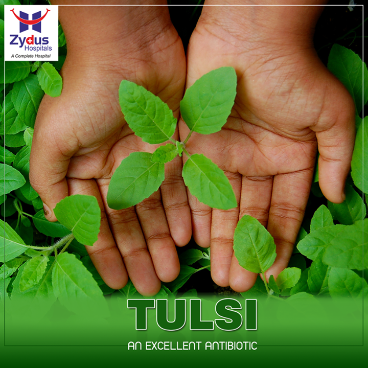 #Tulsi has medicinal properties and is an excellent antibiotic. Eating tulsi leaves, drinking juice or adding it to your tea builds immunity and stabilizes your existing health condition.  #ZydusHealth #ZydusHospitals #Ahmedabad